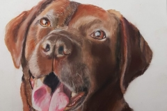 labrador portret in pastel